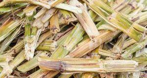 Imagem cana-de-açúcar