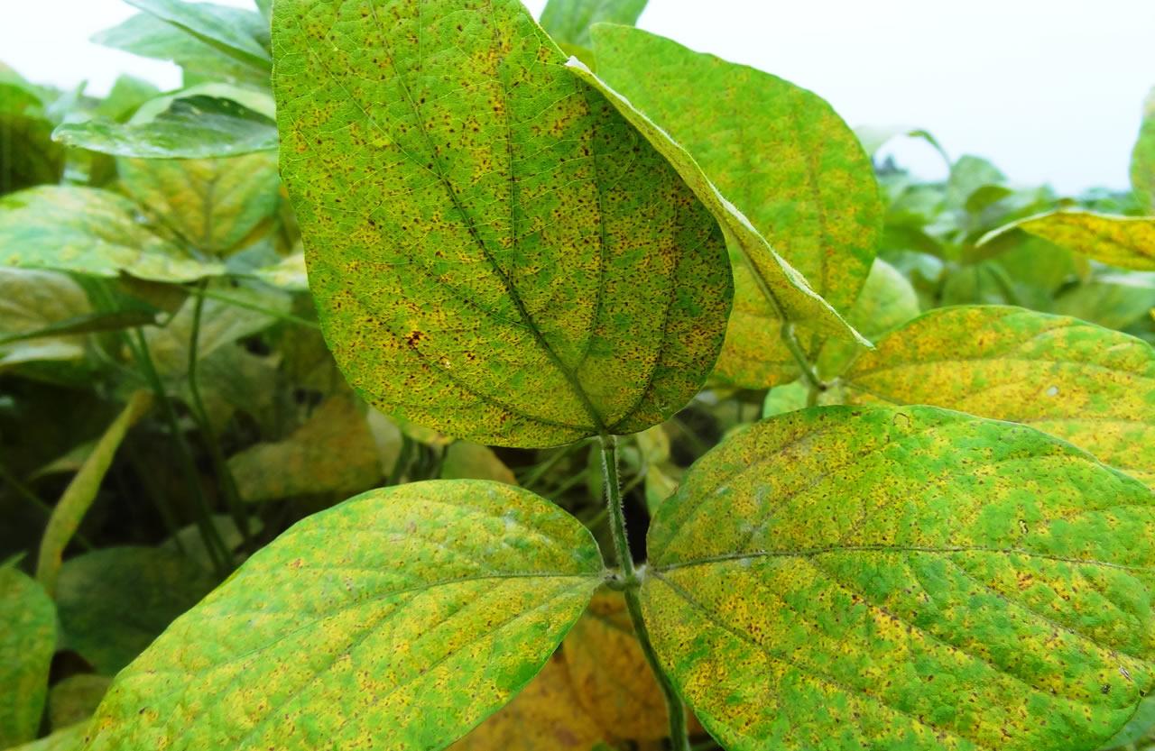 imagem folha de soja com ferrugem asiática